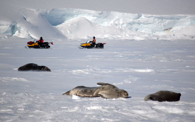 People on snowmobiles drive past seals.