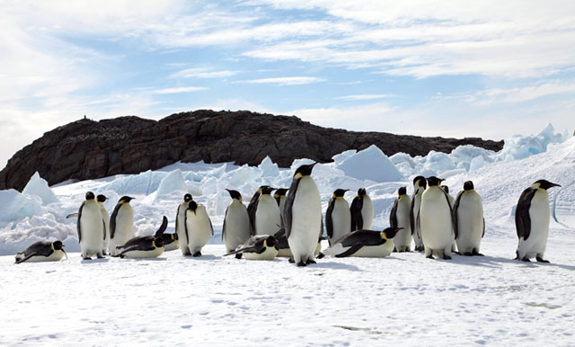 Group of penguins.