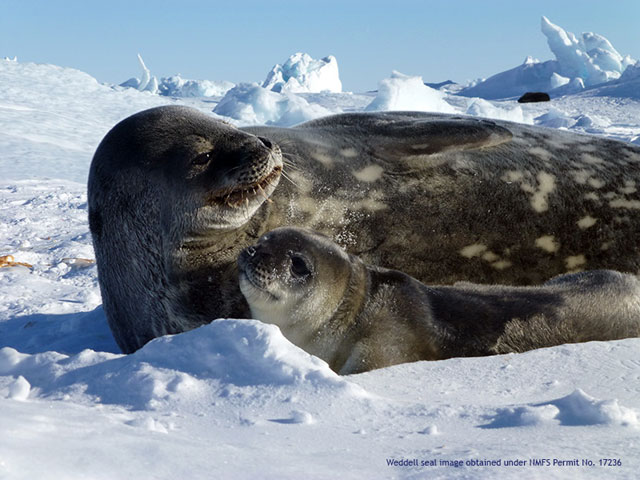 Weddell seal adult and pup lounge on ice.