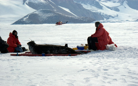 People look at seal on ice with helo in background.
