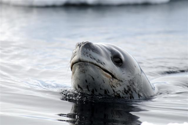 Leopard seal head pokes out of the water.