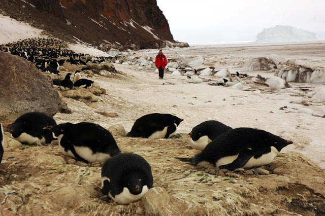 Person walks among nesting penguins.