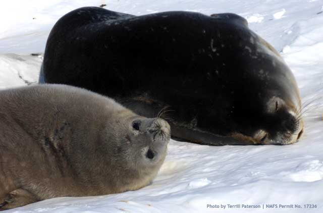 Weddell seal mother and her pup.