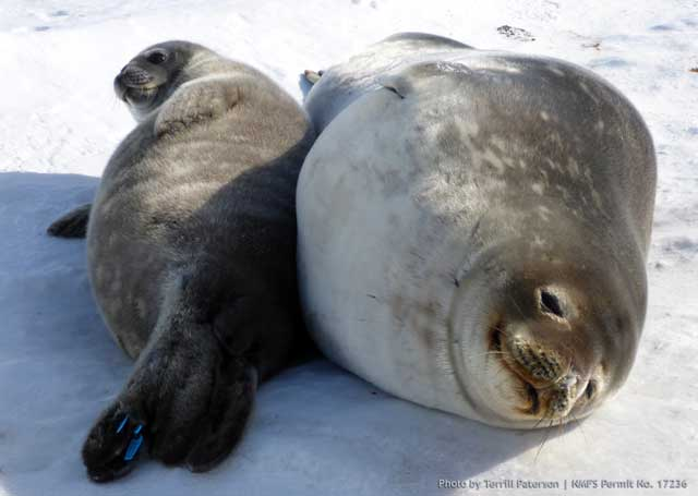 Two seals lay side by side.