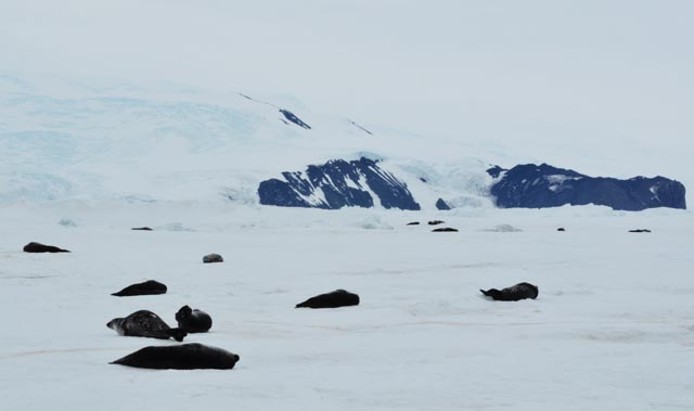 Seals lay on ice surface.