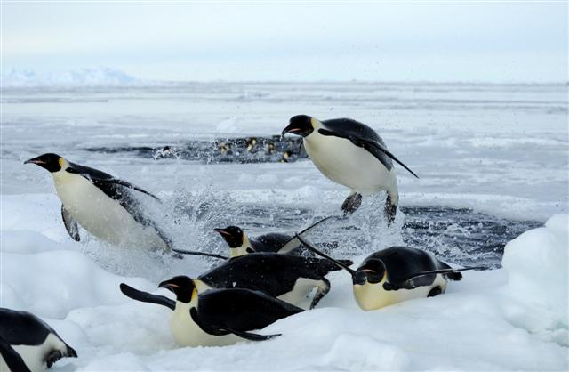 Penguins leap out of the water.