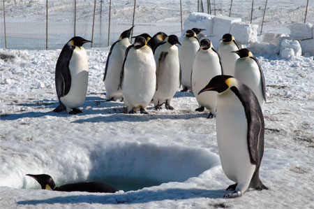 Penguins gather around a hole.