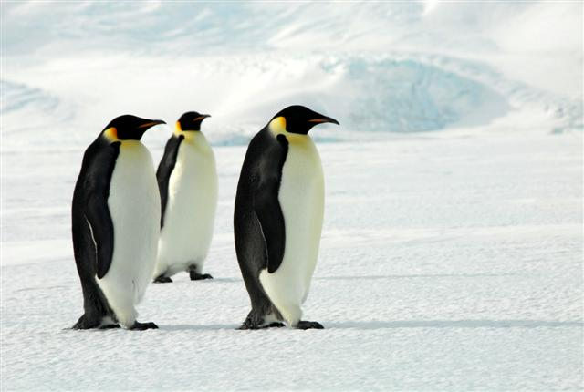 Three emperor penguins stand on ice.