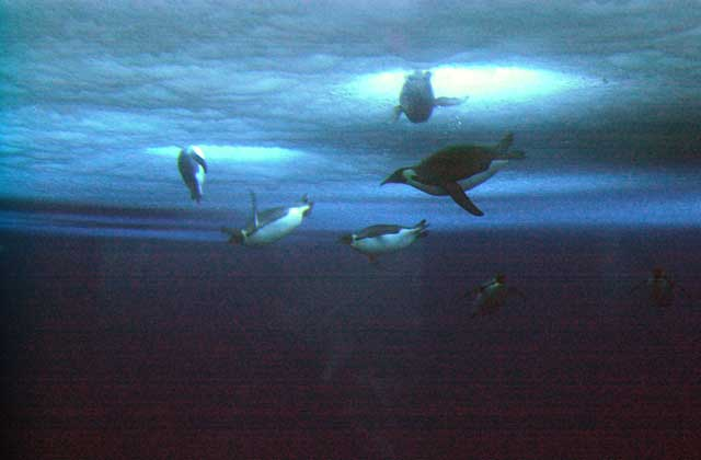 Penguins swim under water.