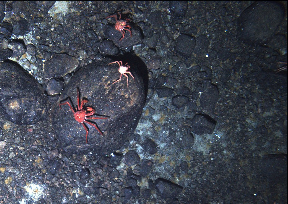 Crabs crawling on seafloor.