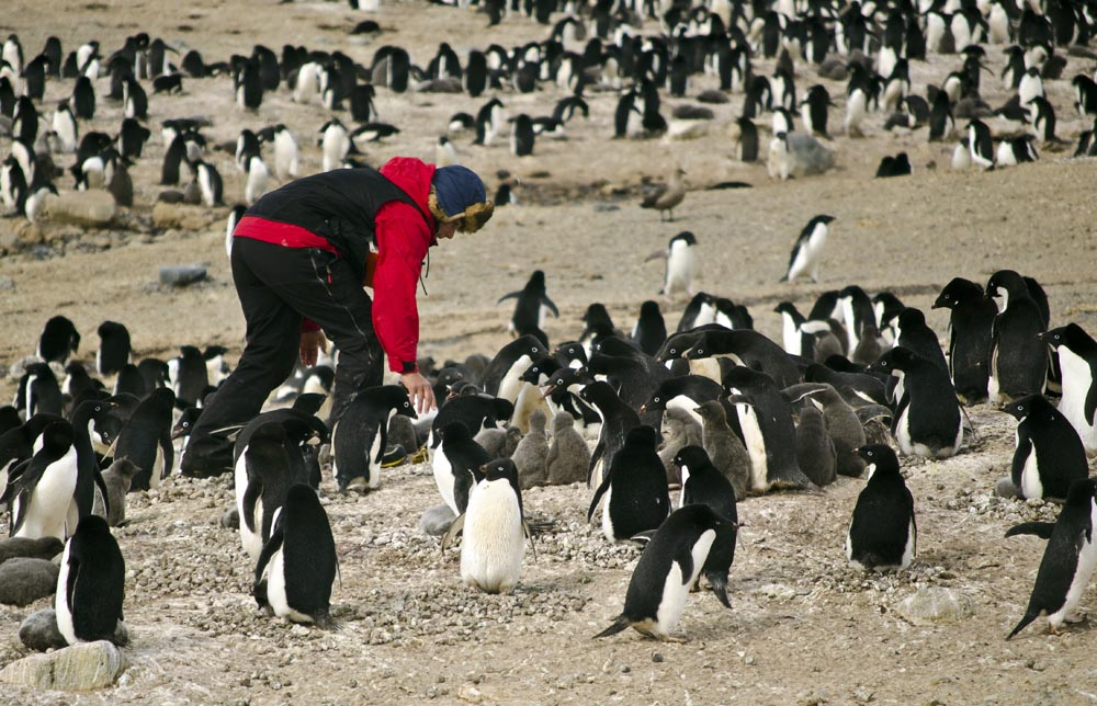 Person bends down amid penguins.