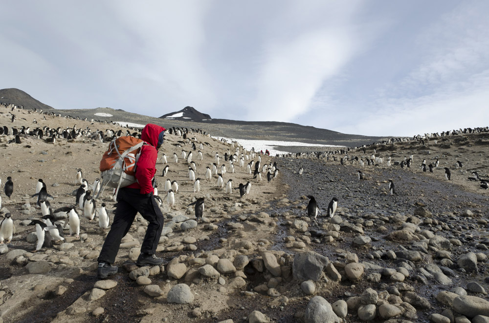 Person walks among penguins.