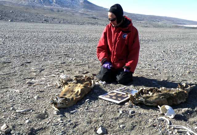 Person examines seal remains.