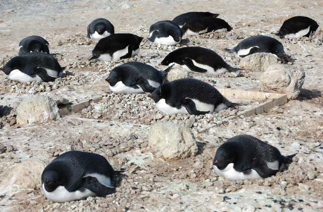 Penguins lay on their stomachs.