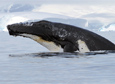A humpback whale leaps out of the waters around Antarctica.