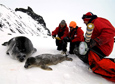 Researchers with the Montana State University conduct fieldwork among the Weddell seals at Erebus Bay.
