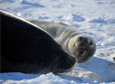 A 32-year-old Weddell seal has given birth to her 22nd pup, an unprecedented feat in the recorded history of the Erebus Bay colony.