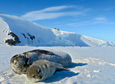 A Weddell seal mother stretches out with her pup at the at Hutton Cliffs seal colony.