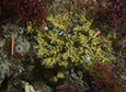 A Dendrilla membranosa sponge grows at Killer Whale rocks off of Palmer Station.
