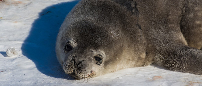 A baby Weddell seal lounges on top of the sea ice. Scientists hope to understand how the species is able to stay underwater for up to 90 minutes.