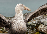 A giant southern petrel spreads its wings on an island near Palmer Station.